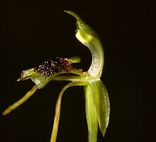 Chiloglottis diphylla by wazonthehill