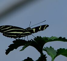 Zebra Longwing by Sharon Perrett