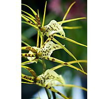Spiny Orchid Photographic Print