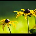 Black Eyed  Susans by Darrell Sharpe