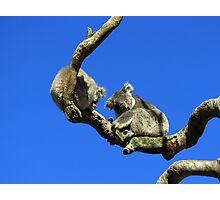 Mr & Mrs Koala  Photographic Print