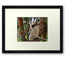 Just Call Me Fluffy - Kookaburra, Sydney Australia Framed Print