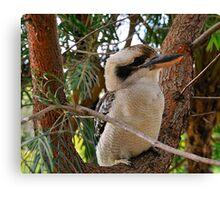 Just Call Me Fluffy - Kookaburra, Sydney Australia Canvas Print