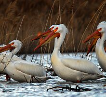 Pelicans - Saratoga Springs, Utah by Ryan Houston