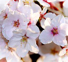 Sakura Delight by ArtInMotion