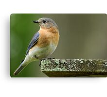 Mrs. Bluebird before the Makeover Canvas Print