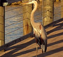 Big Bird Walks on an Indian River Pier by SummerJade