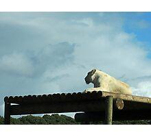 New Horizons: White Lioness Photographic Print