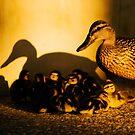 Golden Ducks by BCinMB
