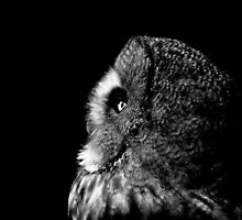 Great Grey Owl by John Messingham