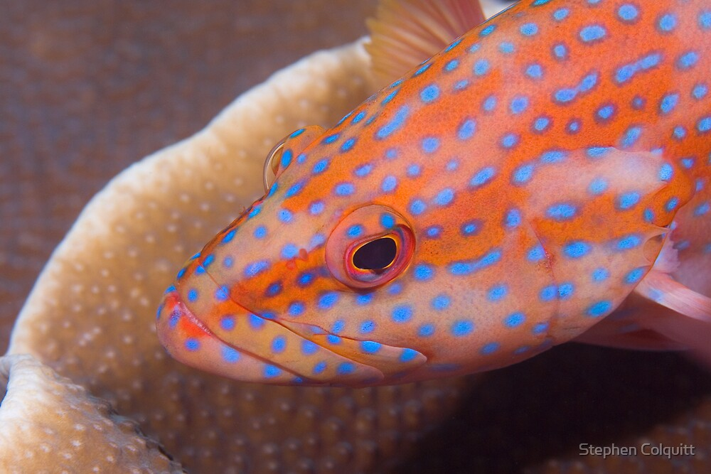Coral trout by Stephen Colquitt