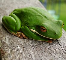White lipped green tree frog by Peace Mitchell