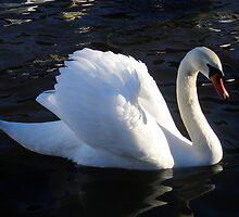 Swan Display by ljm000