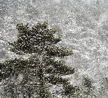 26.12.2014: Pine Tree, Blizzard by Petri Volanen