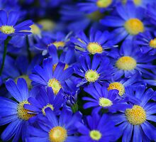 Blue Cineraria by gisondan
