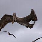Pelican by Laura Puglia