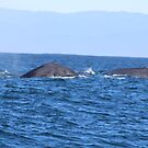 Two Grey Whales by Laurie Puglia