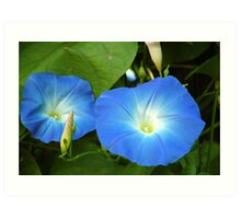 Morning Glories Art Print