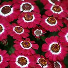Pink Cineraria by gisondan