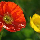 Orange poppy by gisondan