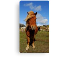 little legs, shetland pony  Canvas Print