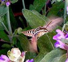 Hummingbird Moth 2 by Ann Warrenton