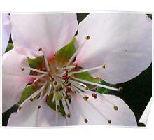 Peach Blossom Macro Poster
