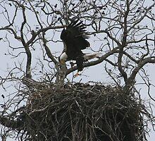 Eagle Landing by jaypat