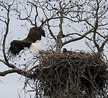 Eagle Approach! by jaypat