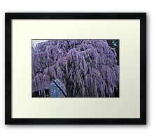 Magnificent Weeping Cherry  Framed Print