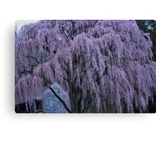Magnificent Weeping Cherry  Canvas Print