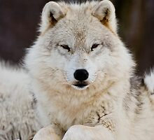 Arctic Wolf - White Ghost Of The North 6 by WolvesOnly