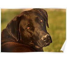 Black Lab - Labrador Retriever - Dog Photograph Poster