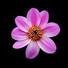 Purple Stripe Dahlia by KJREAY