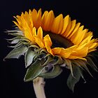 Sunflower by Ann-Marie Metcalfe