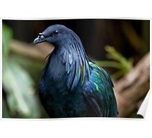 Nicobar Pigeon Poster