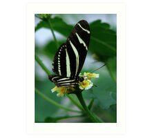 The Zebra Longwing Art Print