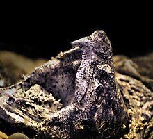 Alligator Snapper Turtle by Dennis Stewart