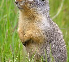 Watchful gopher by Martin Pot