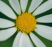 White flower macro by lalylaura