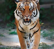 CHINESE TIGER by picartt