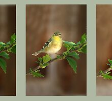 American Goldfinch by Kimberly Palmer