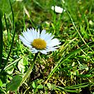 Daisy spring meadow by TriciaDanby