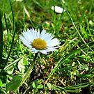 Daisy spring meadow by TriciaDanby