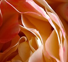 Rose Pedals by CarolineB