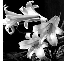 Droplets On The Lillies Photographic Print