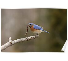 Eastern Blue Bird Poster