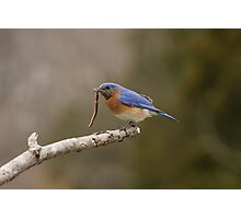 Eastern Blue Bird Photographic Print
