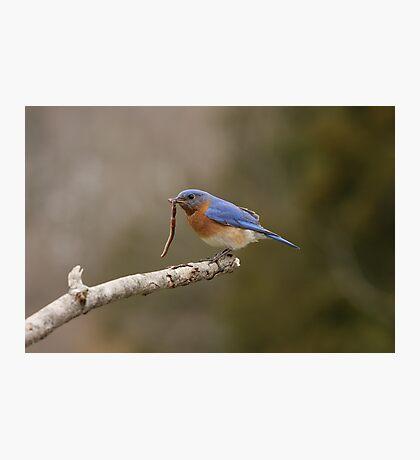 Eastern Blue Bird Photographic Print