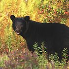 Autumn Black Bear by Molly  Kinsey
